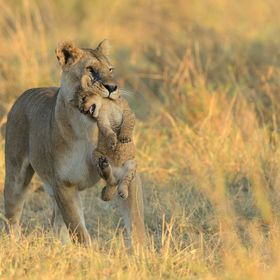 A lioness is carrying her cub in her mouth. Masai Mara, Kenya