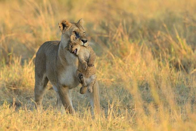"""Mom, I´m a big lion, I can walk by my own!"" by lmr337 - Our Natural Planet Photo Contest"