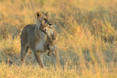"""Mom, I´m a big lion, I can walk by my own!"""