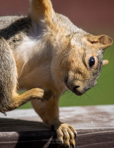 The Scratching Squirrel-2