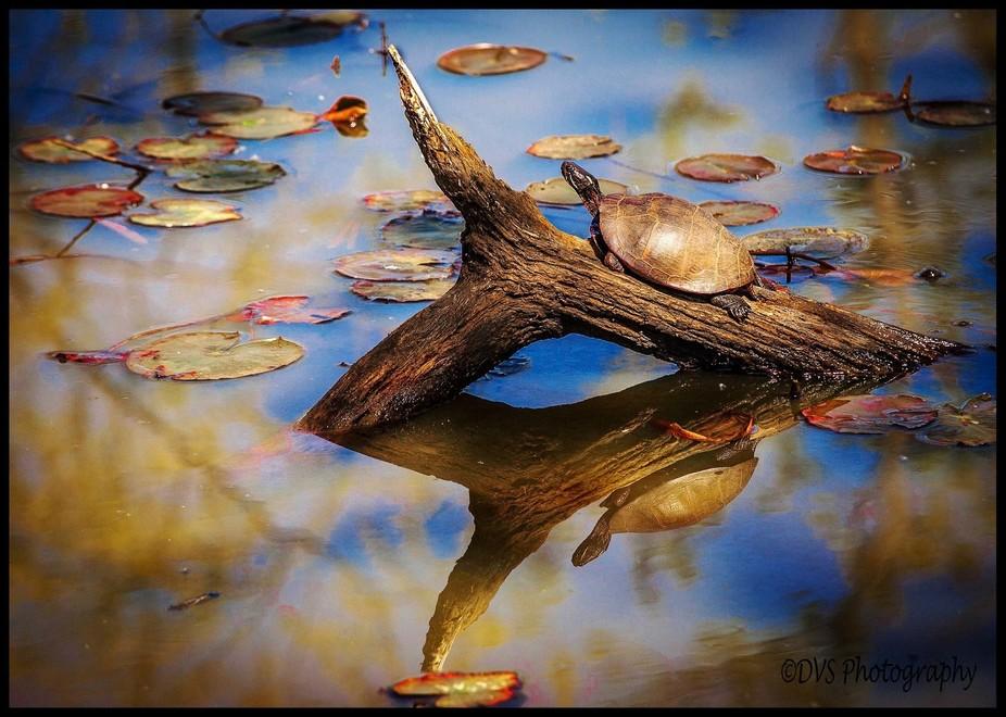 Wash, DC Aquatic Garden Morning Reflection 2