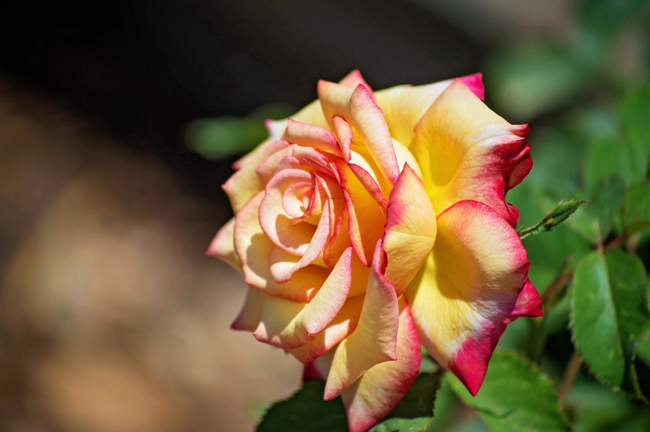 """one of the Many roses at Washington Oaks State Park""""s Rose Garden"""