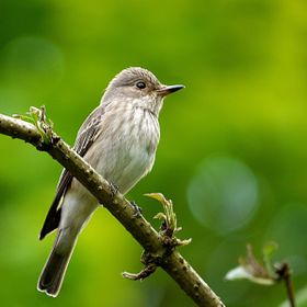 The spotted flycatchers are back in the Rectory garden today, about on cue. They overwinter in Africa. Considering they've recently flown back in...