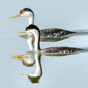 Two Grebes makes Four Grebes