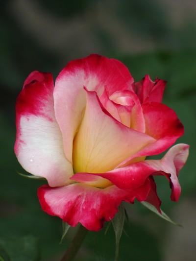 power of rose