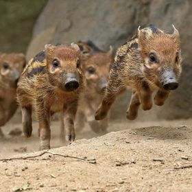 These baby Red River Hogs were running as fast as they could as if they were running a race.  They must have went around 10 times.  I never saw t...