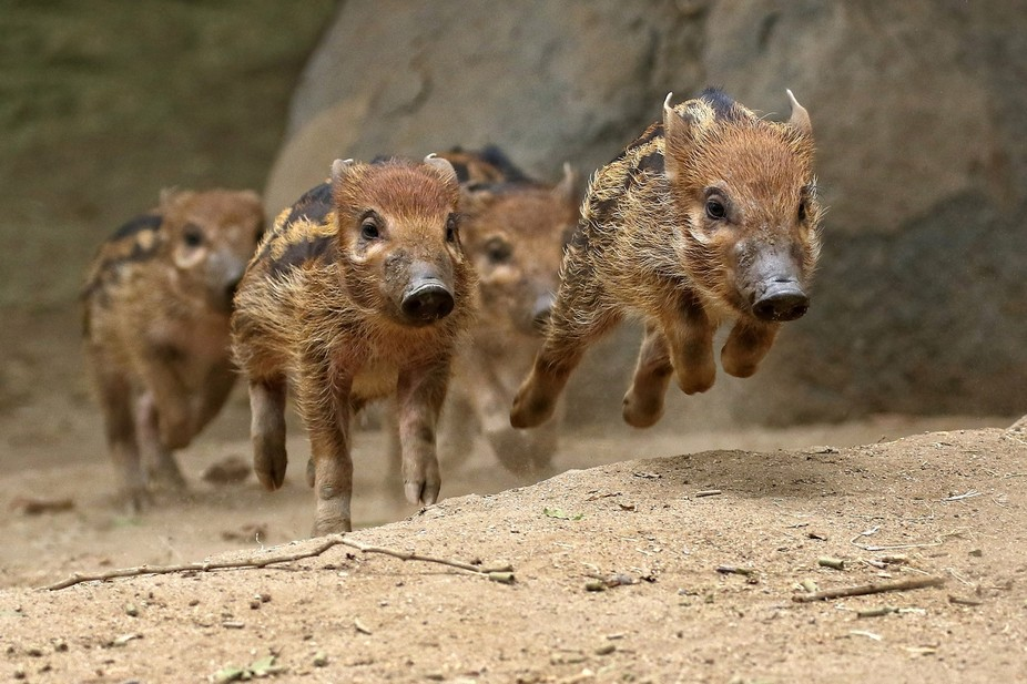These baby Red River Hogs were running as fast as they could as if they were running a race.  The...