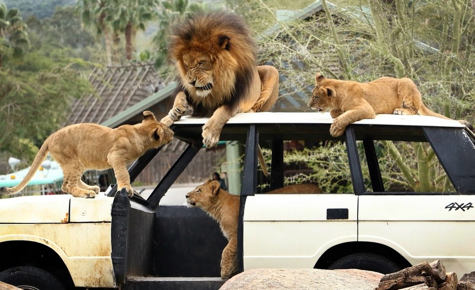 The male lion likes to sleep on top the jeep and was keeping the cubs from taking it over.