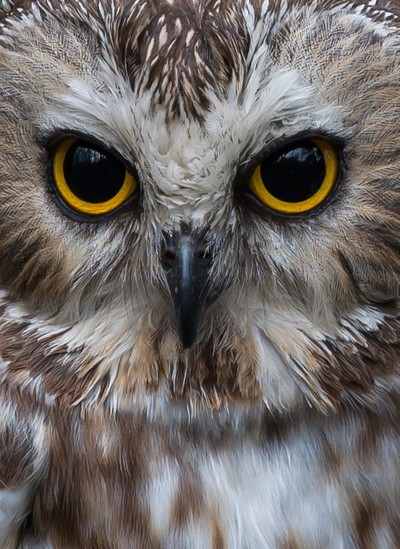 Saw Whet Owl-Close-413