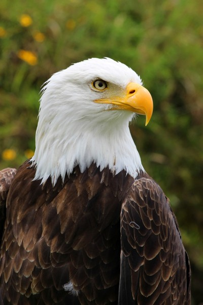 Head of a Male American Bald Eagle