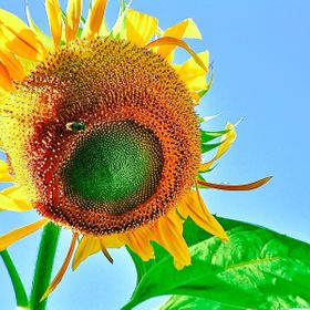 This sunflower had a huge face and stood about 10 feet tall at its prime.