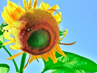 SunflowerOverMe