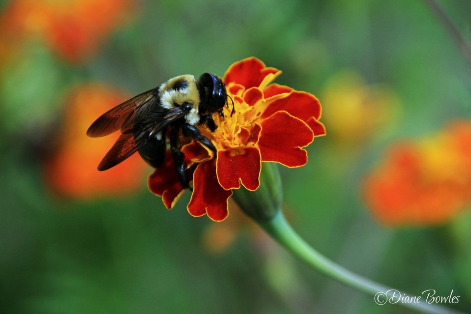 Bumble bee on a marigold