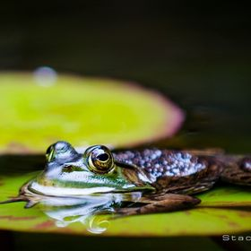 Frog on a lilly