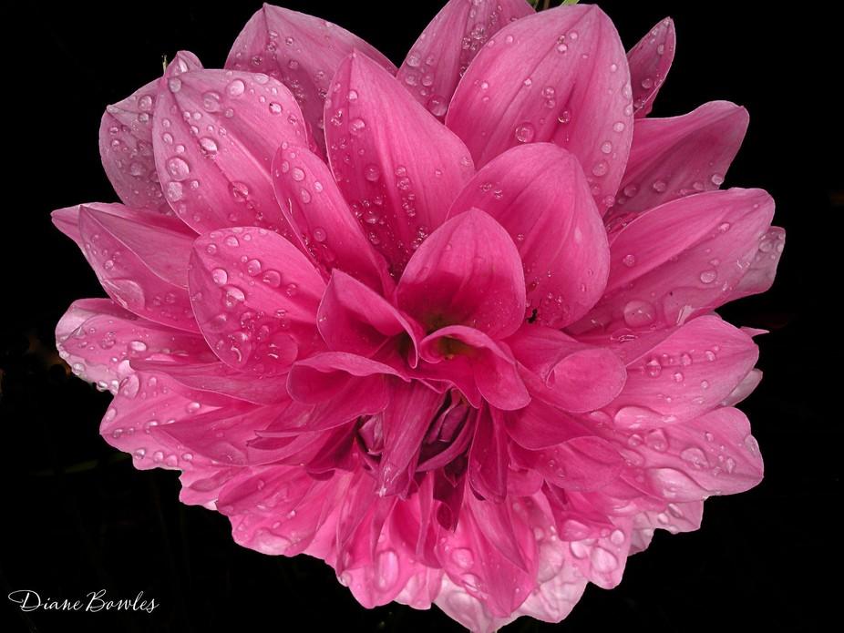 Rain-kissed dahlia bloom