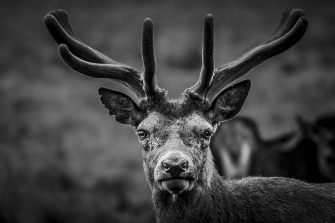 Stag at Richmond Park - London by Clare1981 - Awesomeness In Black And White Photo Contest