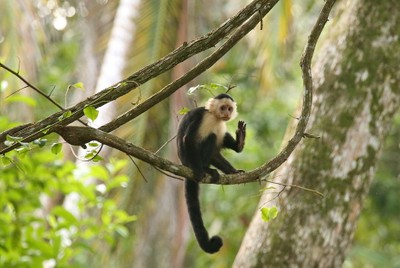 chilling capuchin