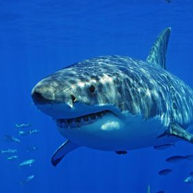 This photo was taken at Guadalupe Mexico, on a Great White Shark Diving Trip.  For those of you wondering, yes, I was in a cage