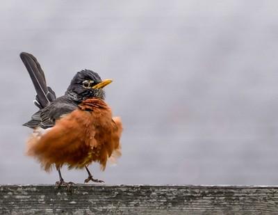 Funny Fluffy Robin-058