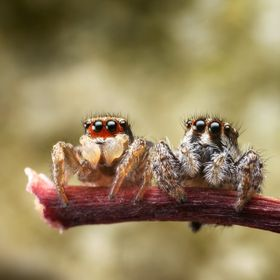A young Habronattus couple enjoying their 1st date.