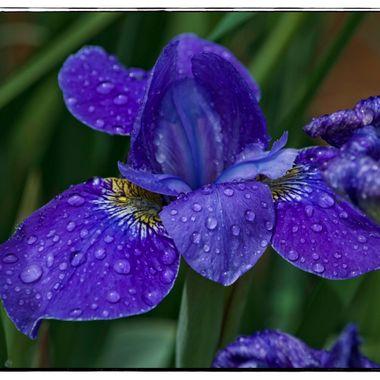 Iris Rain II