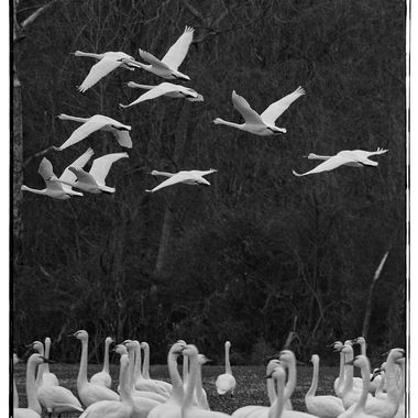 Tundra Geese