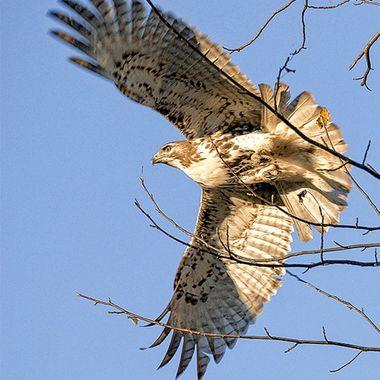 Falcon I color lowres