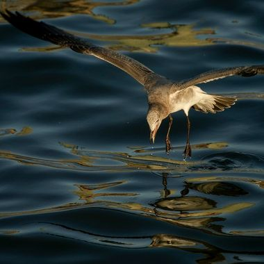 Seagull on water I lowres