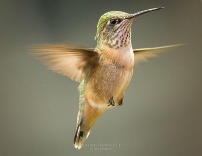 Hummingbird _-2