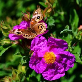 Buckeye butterfly on a rock rose blossom taken in the gardens of the Carmelite Monastery in Carmel California.
