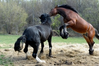 Clydesdale Horse at Play