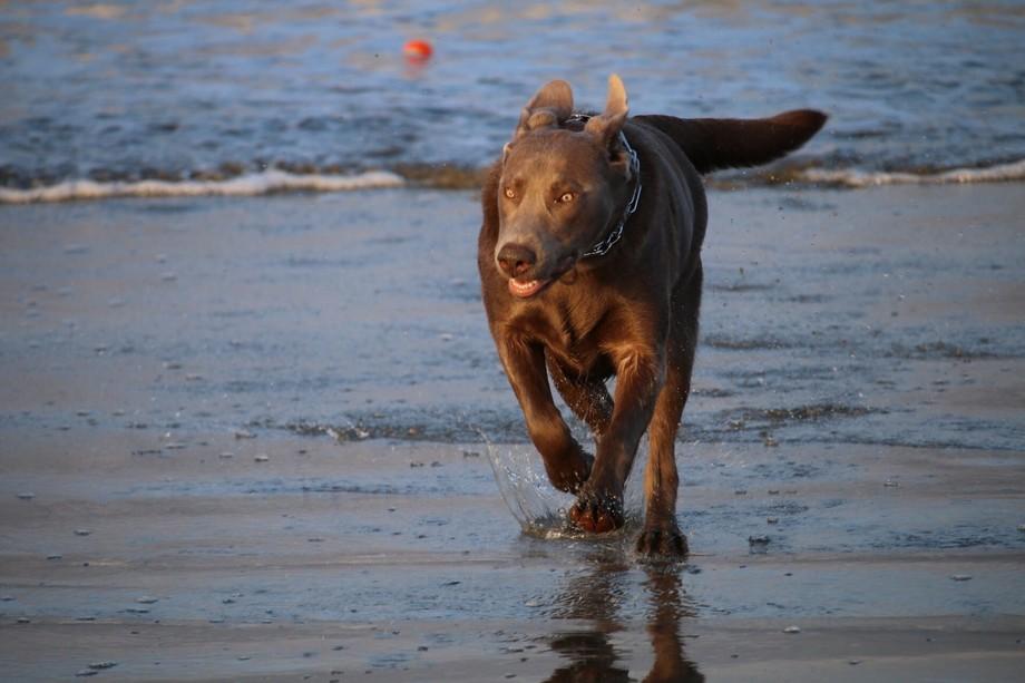 Jasper running on beach.