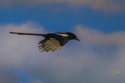 Magpie Flight