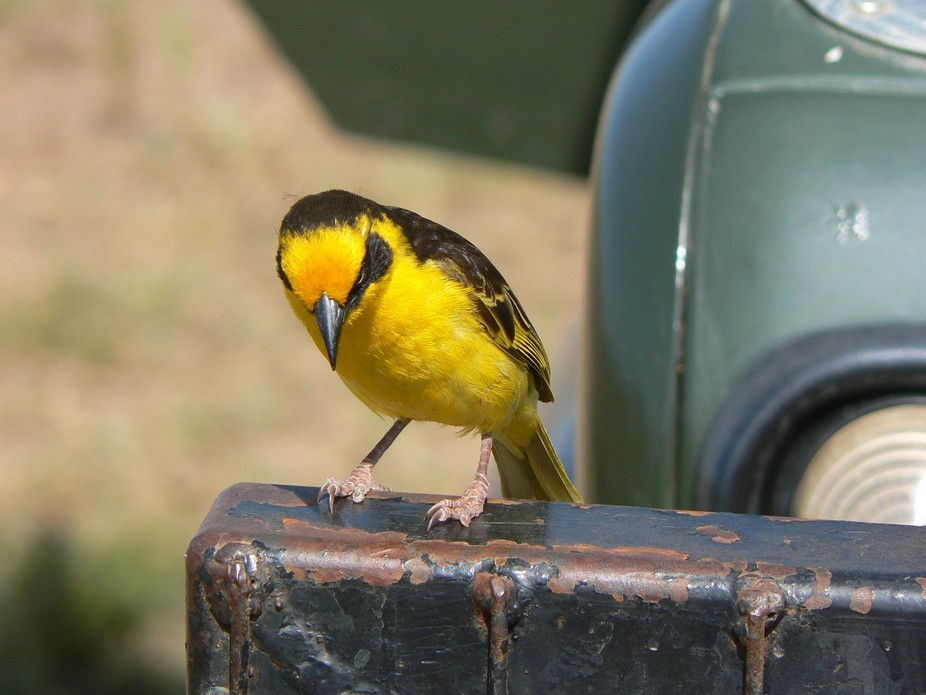Beautiful yellow bird resting our our jeep and to see if anything edible was stuck in the radiato...