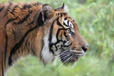 Profile of Tiger