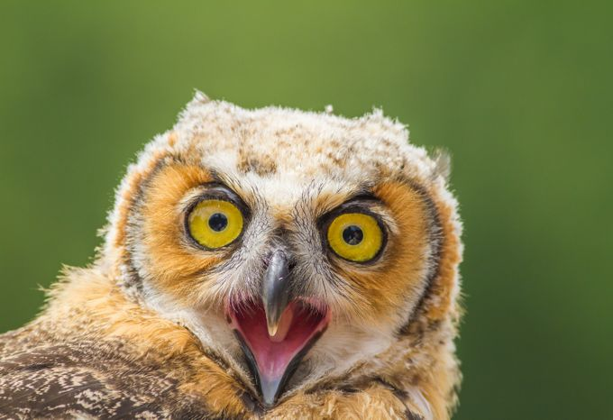 Angry owl by Kamstrup - Beautiful Owls Photo Contest