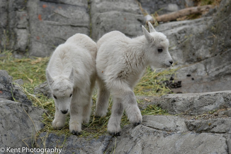 Now we know what Rocky Mountain Goats do in the Winter!!!