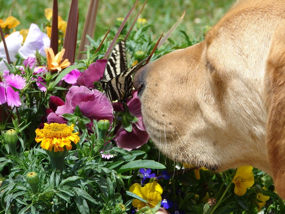 My Old Lab is a curious ole thing.  He sniffs everything.  When the butterfly began to move must ...