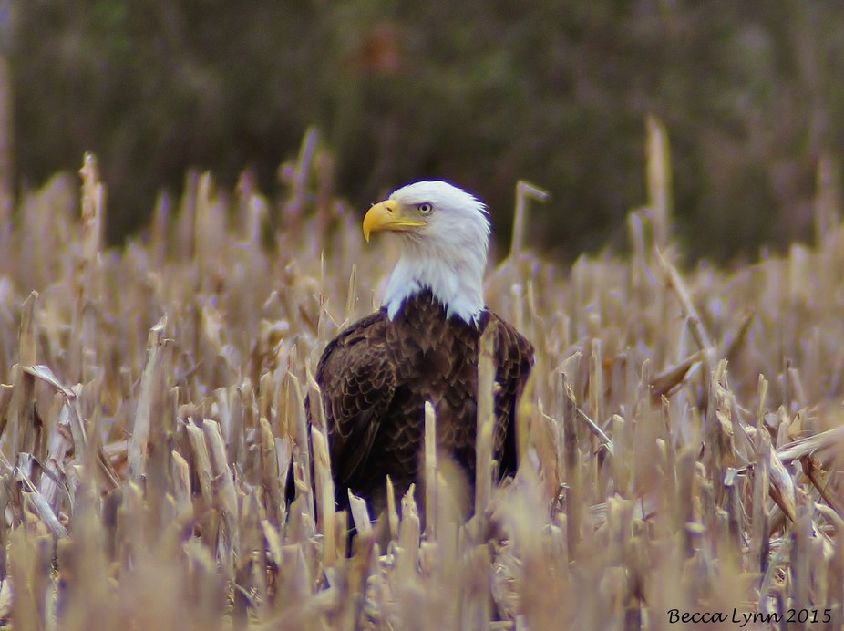 Bald Eagle In A Field