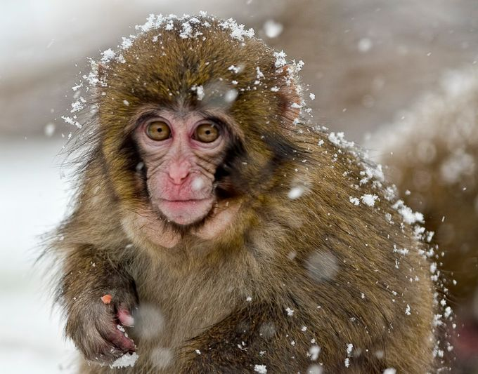 Snow monkey in the snow by SparklyOne - The Brown Color Photo Contest