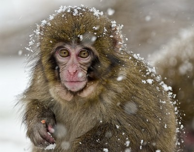 Snow monkey in the snow
