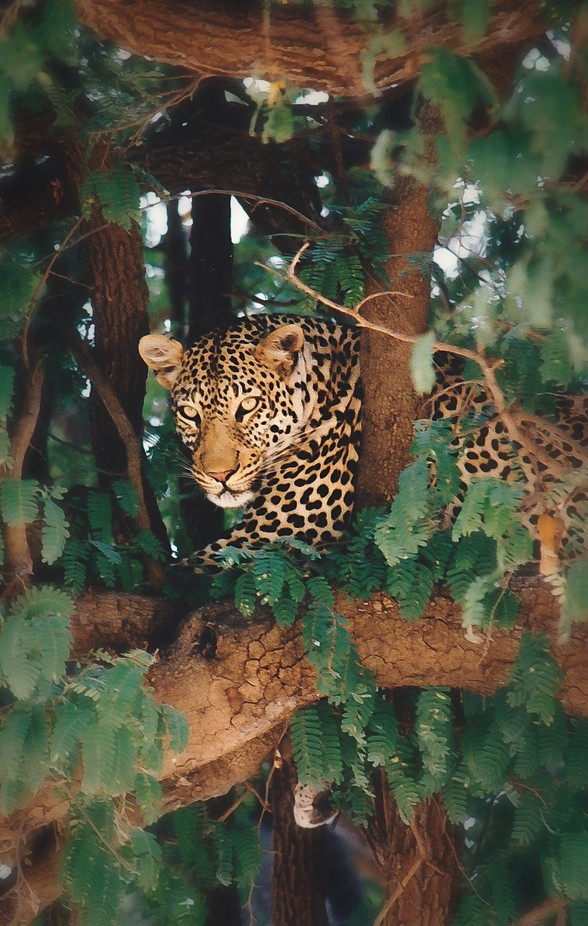 Leopard in Tree by lightpainter - Wildlife Photo Contest 2017