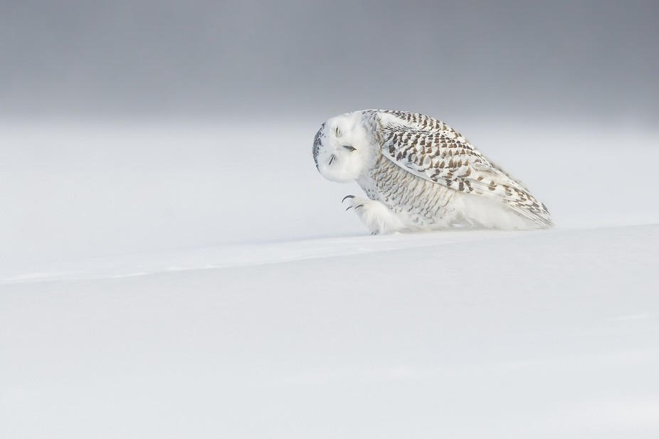 Snowy owl into storm near Quebec city