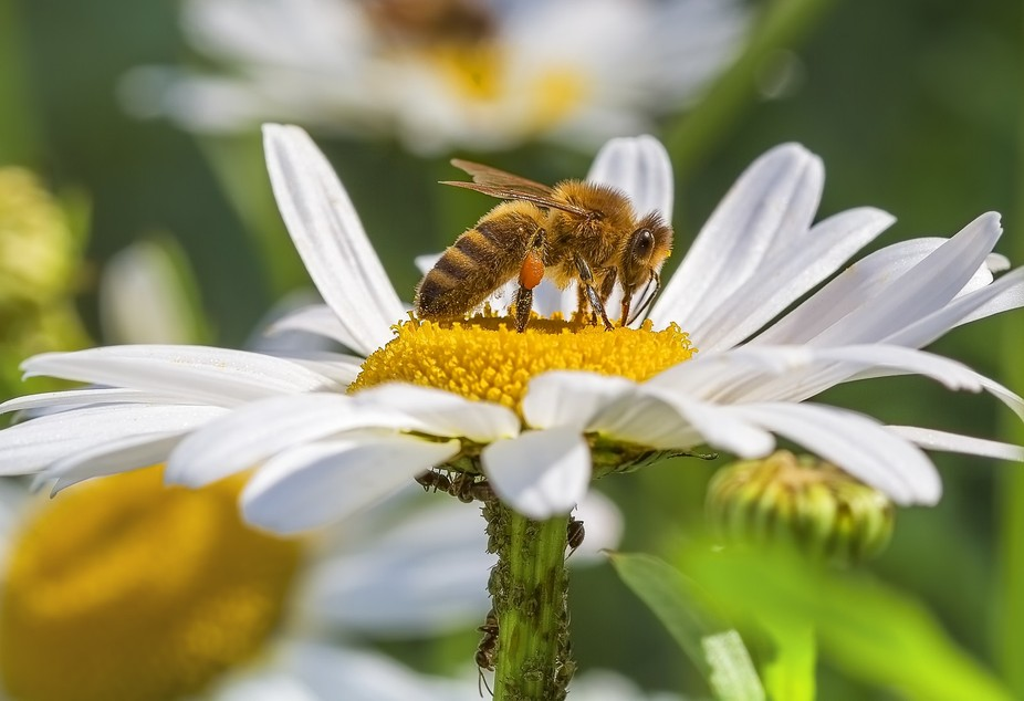 A Daisy being pollinated by a bee and underneath the flower ants are farming aphids.