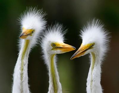 juvi egrets