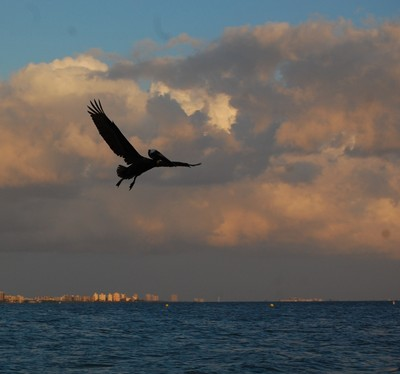 Pelican hunting for fish