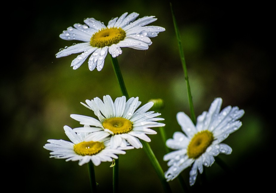 Part of my personal Daisy Series, taken in my front yard in the Georgia Mountains. This series features up-close, macro, & full-frame images of daisies.