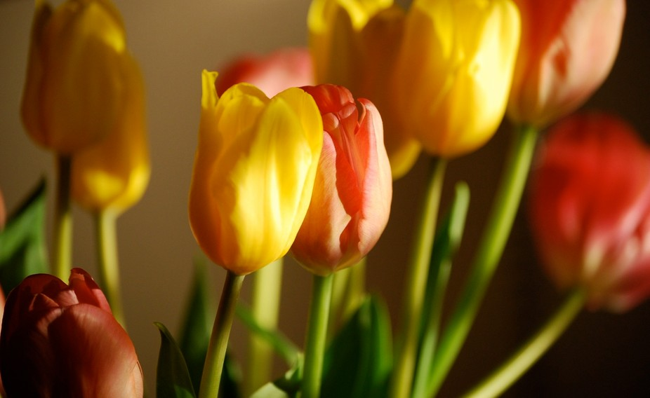 The lighting from the afternoon sun coming in thru a window just made this Tulip bouquet look per...