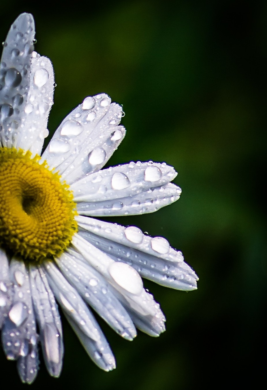 A part of my personal Daisy Series taken in my front yard in the Georgia Mountains.