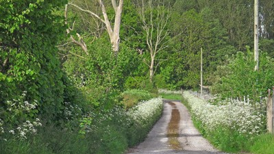 Springtime English country lane lush green hedgerow and trees